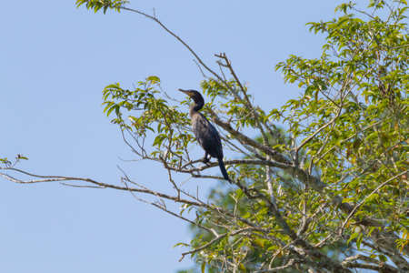 Neotropic cormorant on the nature in Pantanal, Brazil. Brazilian wildlife