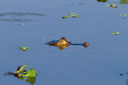 Caiman floating on the surface of the water in Pantanal, Brazil. Brazilian wildlife. Reklamní fotografie - 104446770