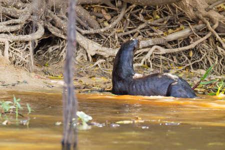 Giant otter on water from Pantanal wetland area, Brazil. Brazilian wildlife. Pteronura brasiliensis
