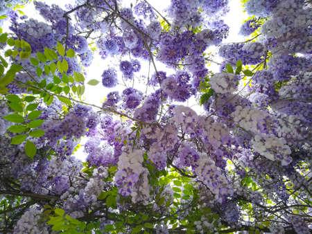 Wisteria in bloom background. Purple flowers, springtime season