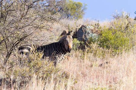 Cape mountain zebra from Mountain Zebra National Park, South Africa. Safari and wildlife. Equus zebra zebra Reklamní fotografie