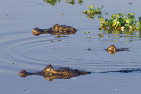 Caiman floating on the surface of the water in Pantanal, Brazil. Brazilian wildlife. Фото со стока