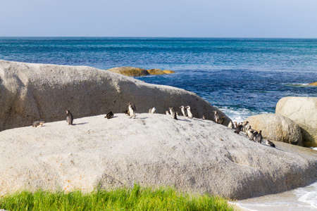 African penguin colony from Simon's town conservancy area, South Africa. African wildlife