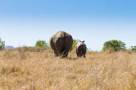 White rhinoceros female with puppy, from Hluhluwe–Imfolozi Park, South Africa. African wildlife. Ceratotherium simum