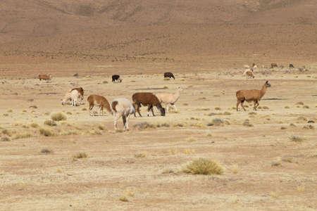 Bolivian llama breeding on Andean plateau,Bolivia Reklamní fotografie