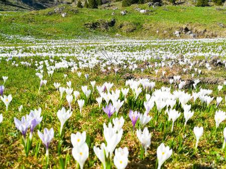 Field of spring pasqueflower. Mountain flowers on springtime Reklamní fotografie