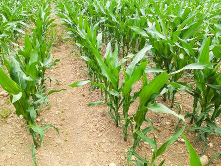 Field of maize. Italian agriculture. Rural scenery Reklamní fotografie