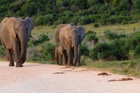 Family of elephants from Addo Elephant National Park, South Africa. African wildlife Reklamní fotografie