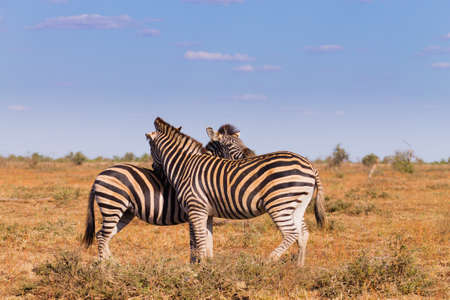Couple of zebras from Kruger National Park. African wildlife.  equus quagga. South Africa Imagens