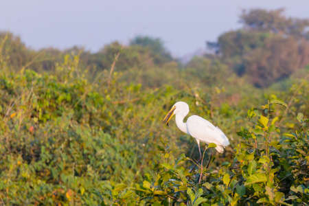 Great egret bird on the nature in Pantanal, Brazil. Brazilian wildlife Reklamní fotografie