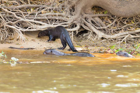 Giant otter on water from Pantanal wetland area, Brazil. Brazilian wildlife. Pteronura brasiliensis