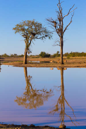 Kruger National Park, reflections on lake, tree and wildlife. Beautiful landscape from South Africa. Safari and nature