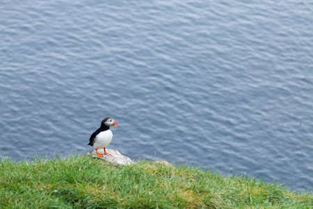 Atlantic puffin from Borgarfjordur fjord, east Iceland. Iceland wildlife. Common puffin. Fratercula arctica