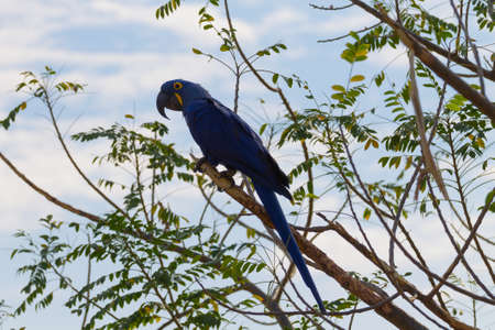 Hyacinth macaw close up from Pantanal, Brazil.  Brazilian wildlife. Biggest parrot in the world. Anodorhynchus hyacinthinus