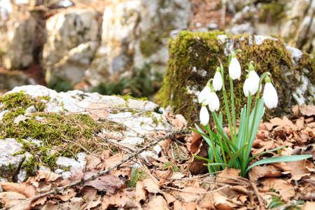 Snowdrop flower in woodland close up, nature background. Wild flower background