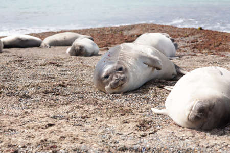 Elephant seals on beach, Patagonia, Argentina.  Isla Escondida beach, Chubut province 写真素材
