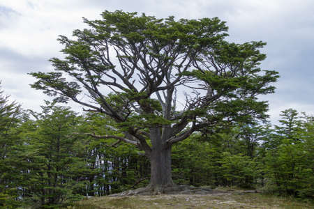 Isolated tree from Tierra Del Fuego National Park, Argentina. Land of fire