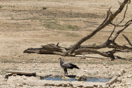 A secretary bird at waterhole, Kgalagadi National Park, South Africa