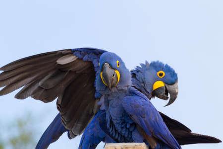Coppia di Ara Giacinto del Pantanal, Brasile. fauna selvatica brasiliana. Il pappagallo più grande del mondo. Anodorhynchus hyacinthinus Archivio Fotografico
