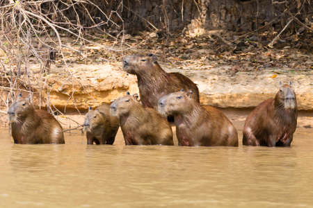 Herd of Capybara on riverbank from Pantanal, Brazil. Brazilian wildlife. Hydrochoerus hydrochaeris