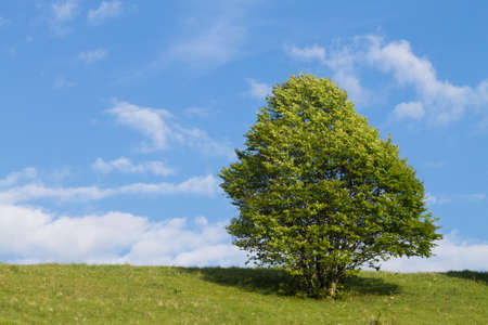Isolated tree on blue sky. Spring season background. Nature landscape