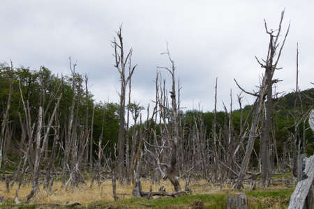 Woodland destroyed by beavers, Tierra del Fuego national park, Argentina. Land of fire area Stock Photo