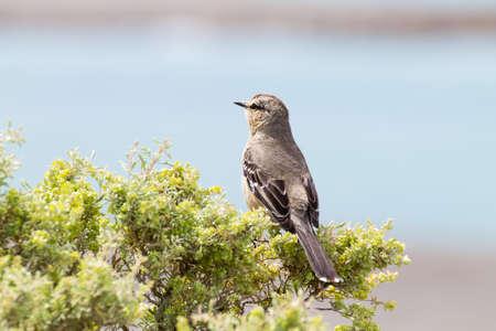 Patagonian mockingbird from Caleta Valdes, Patagonia, Argentina. Argentinian wildlife Stok Fotoğraf