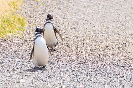 Magellanic penguins. Punta Tombo penguin colony, Patagonia, Argentina