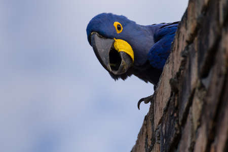 Hyacinth macaw close up from Pantanal, Brazil. Brazilian wildlife. Biggest parrot in the world. Anodorhynchus hyacinthinus Archivio Fotografico