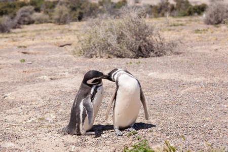 Magellanic penguin close up. Punta Tombo penguin colony, Patagonia, Argentina Stok Fotoğraf