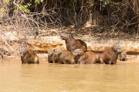 Herd of Capybara on riverbank from Pantanal, Brazil. Brazilian wildlife. Hydrochoerus hydrochaeris Stockfoto - 134031659