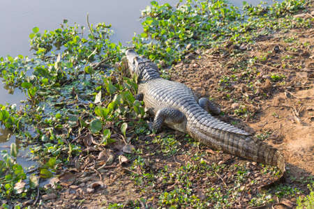 Caiman which heats up in the morning sun from Pantanal, Brazil. Brazilian wildlife. Stockfoto - 134031681