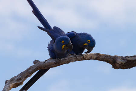 Couple of Hyacinth macaw from Pantanal, Brazil.  Brazilian wildlife. Biggest parrot in the world. Anodorhynchus hyacinthinus