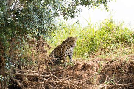 Jaguar on riverbank from Pantanal, Brazil. Wild brazilian feline. Nature and wildlife Stockfoto - 134031685