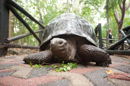 Aldabra giant tortoise from Zanzibar conservation area, Tanzania. African wildlife