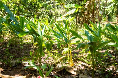 Curcuma cultivation from Zanzibar, Tanzania. Spices cultivation. Natural food
