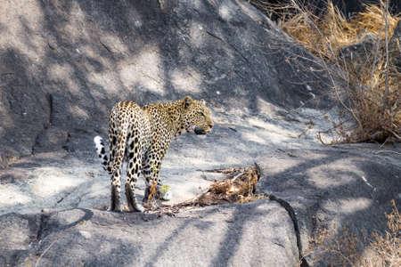Leopard on rock. Serengeti National Park, Tanzania. African wildlife Фото со стока