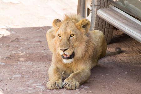 Lion near cars at Ngorongoro crater, Tanzania. African wildlife Фото со стока