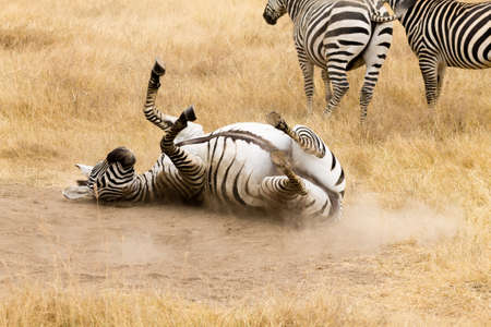 Zebra that is rolling on the ground. Ngorongoro crater, Tanzania. African wildlife Фото со стока