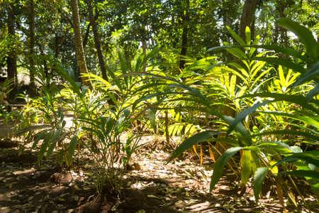 Cardamom cultivation from Zanzibar, Tanzania. Spices cultivation. Natural food Фото со стока