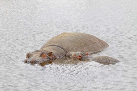 Hippopotamus on water. Ngorongoro Conservation Area crater, Tanzania. African wildlife Фото со стока