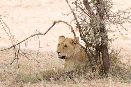 Lioness at Serengeti National Park,  Tanzania, Africa. African wildlife