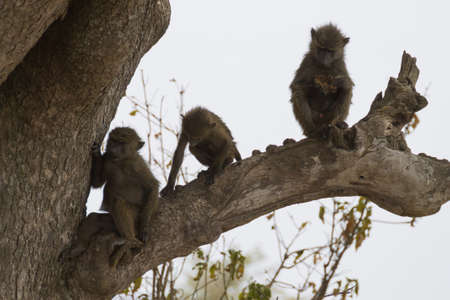 Baboons from Serengeti National Park, Tanzania, Africa. African wildlife