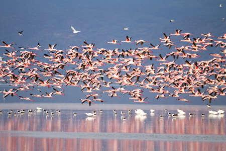 Flock of pink flamingos from Lake Manyara, Tanzania. African safari