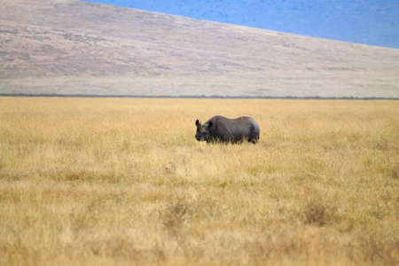 Black rhinoceros on Ngorongoro Conservation Area crater, Tanzania. African wildlife Фото со стока