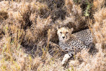 Cheetah cub. Serengeti National Park, Tanzania. African wildlife Фото со стока