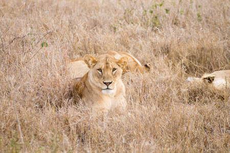 Lioness close up. Serengeti National Park, Tanzania. African wildlife Reklamní fotografie