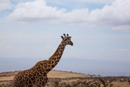 Giraffe close up. Ngorongoro Conservation Area crater, Tanzania. African wildlife