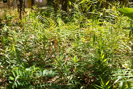 Ginger cultivation from Zanzibar, Tanzania. Spices cultivation. Natural food