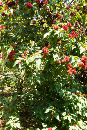 Bixa orellana cultivation from Zanzibar, Tanzania. Spices cultivation. Natural food Фото со стока